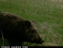 wildlife boars