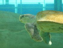rare-turtle