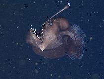 Terrifying 'black sea devil' anglerfish captured on video
