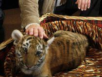 Putin tiger