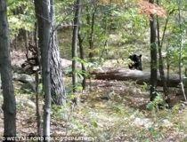 Phots of bear before mauling