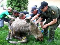 Community rallies around moose on the loose_8
