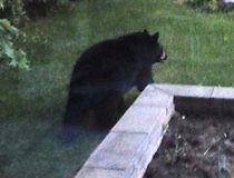 Newmarket bear