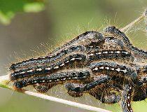 forest tent caterpillar filer