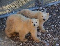 Polar bear cubs_4