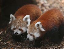 Red Panda at Philadelphia Zoo