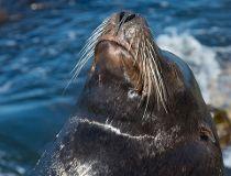 Sea lion fotolia