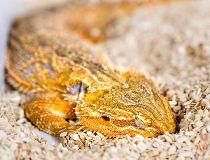Reptiles REM sleep