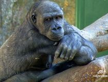 Zuri gorilla Calgary Zoo
