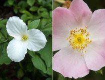 Flower trivia