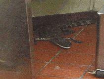 Joshua James alligator wendy's