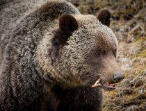grizz