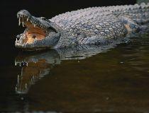 crocodile getty