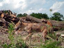 QMI_coyote2