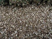 budworm moths