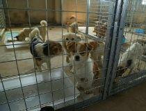 Yulin dog