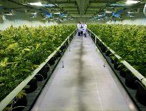 Marijuana grow-up
