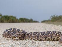 Eastern diamondback rattlesnake.