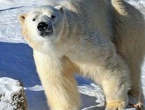 Inukshuk polar bear