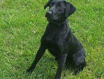 A file photo shows a Labrador.