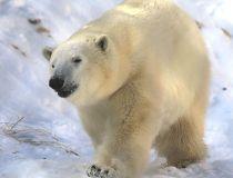Hudson the polar bear