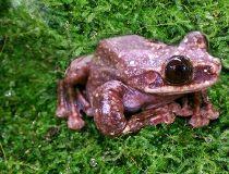Rabbs' fringe-limbed tree frog