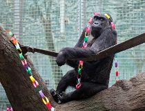 great-grandbaby gorilla