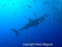 shark bites air supply