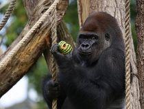 Kumbuka the gorilla