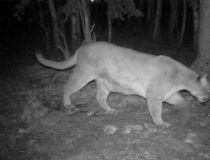 Cougar Priddis