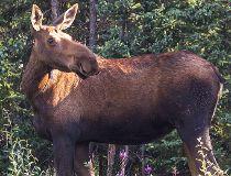 Moose female in Alaskan forest in summer