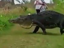 Massive gator