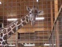 Giraffe Feb. 23/17
