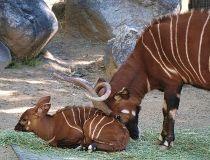 Bongo calf Feb. 23/17