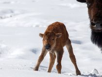 Baby bison in Banff