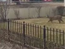 Parkland bobcat