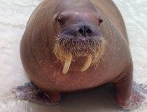 Sonja the walrus
