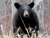 Black bear FILES May 29/17