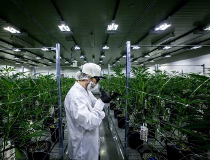 Cannabis grow room at Tweed in Smith Falls