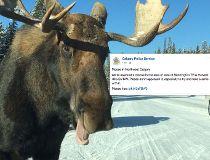 Moose warning Calgary police