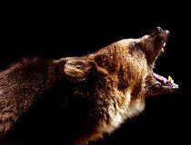 roaring bear