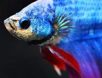 Beta fish.