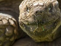 Cracked wrinkled face of African spurred tortoise.