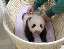 baby panda shin shin