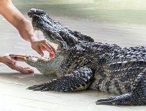 alligator biting man