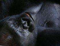 Lowland gorilla FILES Aug. 17/17