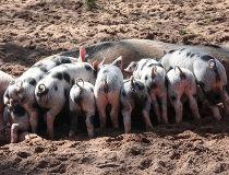 Piglets Aug. 23/17