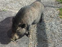 Lyle Pig